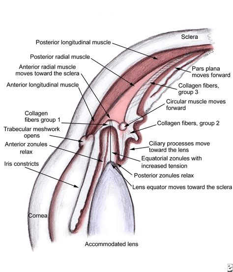 function of the ciliary muscle picture 3