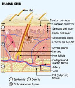 diagram of how oil penetrates skin picture 6