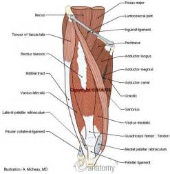 anatomy of the human muscle picture 1