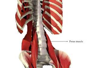 low back muscle psoais picture 11
