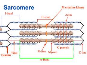 diagrams of skeletal muscle fiber picture 5