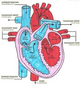 picture blood flow heart picture 1
