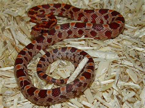 corn snake h picture 7
