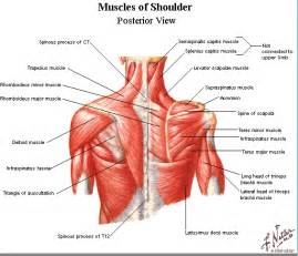 deltoid muscle picture 7