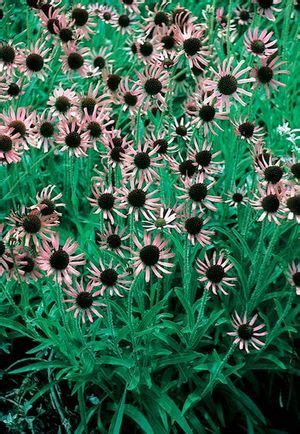 echinacea tennesseensis rocky top picture 15