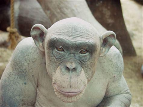 skin color in chimpanzees picture 2