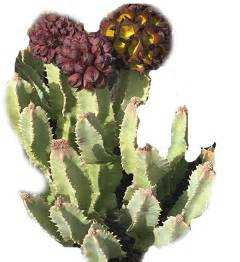 caralluma fimbriata plants for sale picture 5