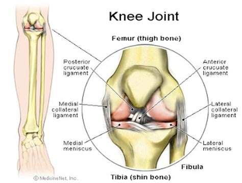 anotomy of knee joint picture 1