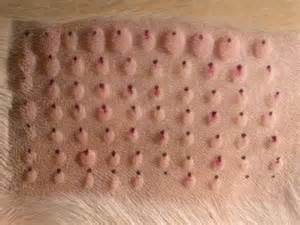 dogs skin disorders picture 13