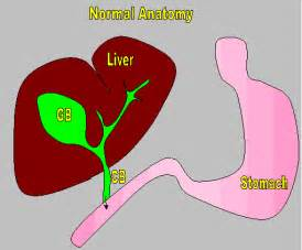 fluid around liver after bladder removal picture 15