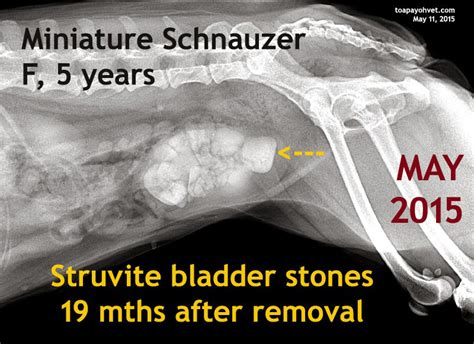 canine bladder stones 2014 picture 19