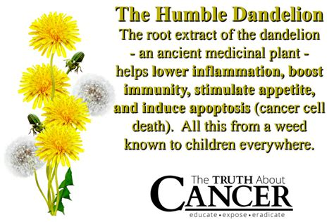 cancer & dandelion root picture 3