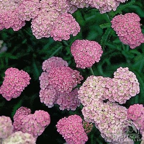 cut back yarrow picture 14