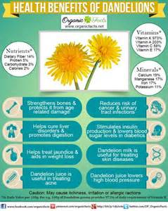 dandelion for health picture 2
