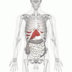 location human anatomy liver picture 7