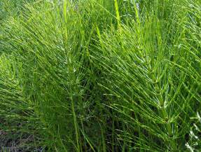 5 horsetail plant picture 5