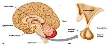 anterior pituitary gland picture 13