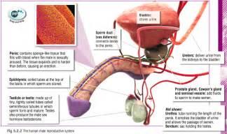 penis scientific exam picture 5