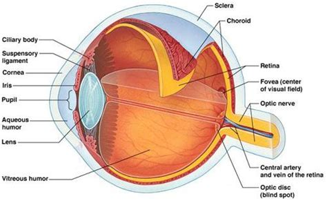 ciliary muscle and trigeminal eye pain picture 15