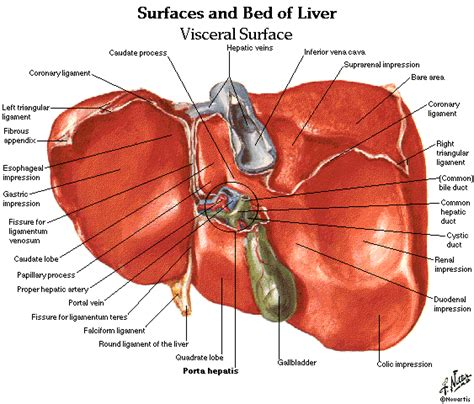 anatomical location of the liver picture 9