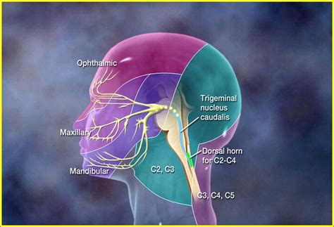 trigeminal pain ciliary muscle picture 9