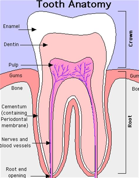 digestion teeth picture 13