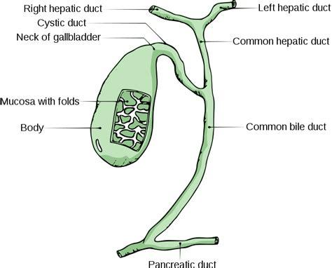 gall bladder wiki picture 3