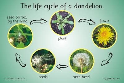 dandelion facts picture 5