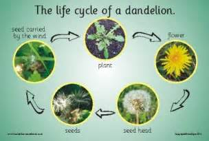 stages of growth of dandelions picture 3