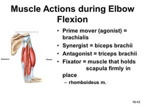 a list of muscle agonist and antagonist picture 13