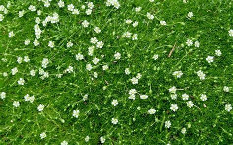where to plant irish moss picture 6