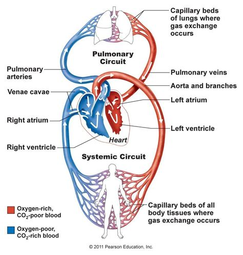 Blood vessel circulation picture 1