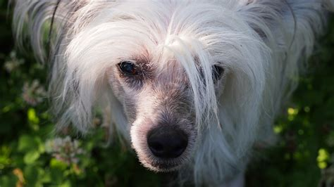chinese crested dog skin disease picture 6