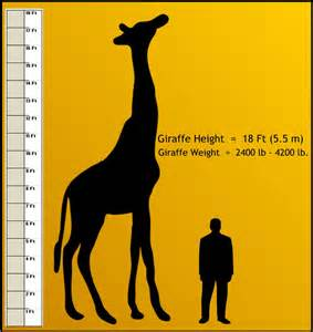average length of a giraffe penis picture 7