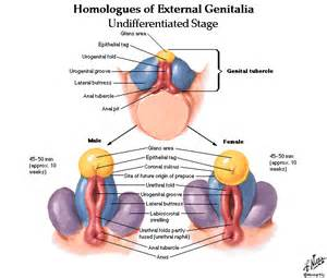 genitourinary tract anatomy and physiology pictures picture 2