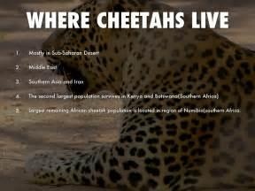 do cheetahs sleep picture 1
