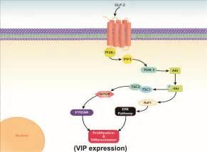vasoactive intestinal polypeptide picture 6