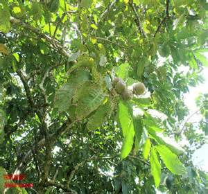 banaba leaf and liver damage picture 1