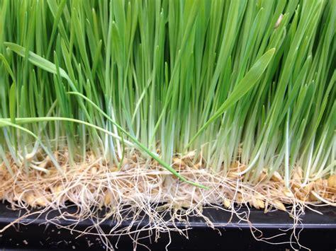 alfalfa gr for gluten allergy picture 14