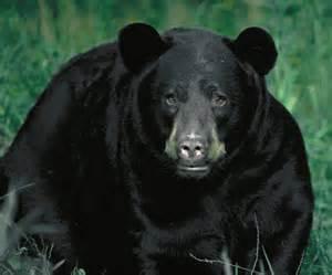 black bear herbal picture 6