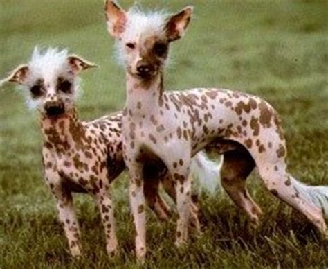 chinese crested dog skin disease picture 10