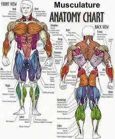 anatomy of the human muscle picture 3