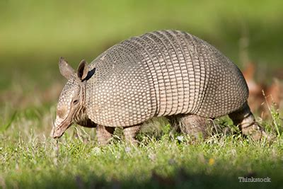 armadillo diet picture 10