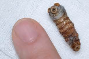 bed bugs burrow under skin picture 13
