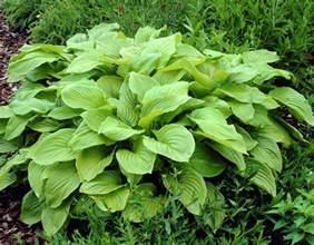 hosta plantain picture 5