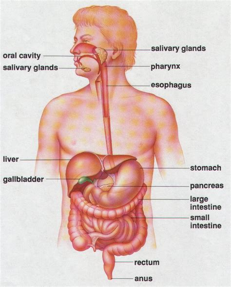 anatomy and physiology of colon ppt picture 5