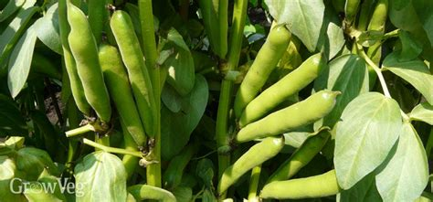 fava beans and hair growth picture 13