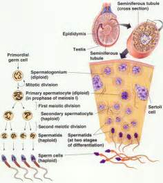 testosterone function in spermatogenesis picture 5