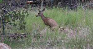 what does a deers penis look like picture 13