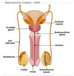 male sex organ detox picture 7